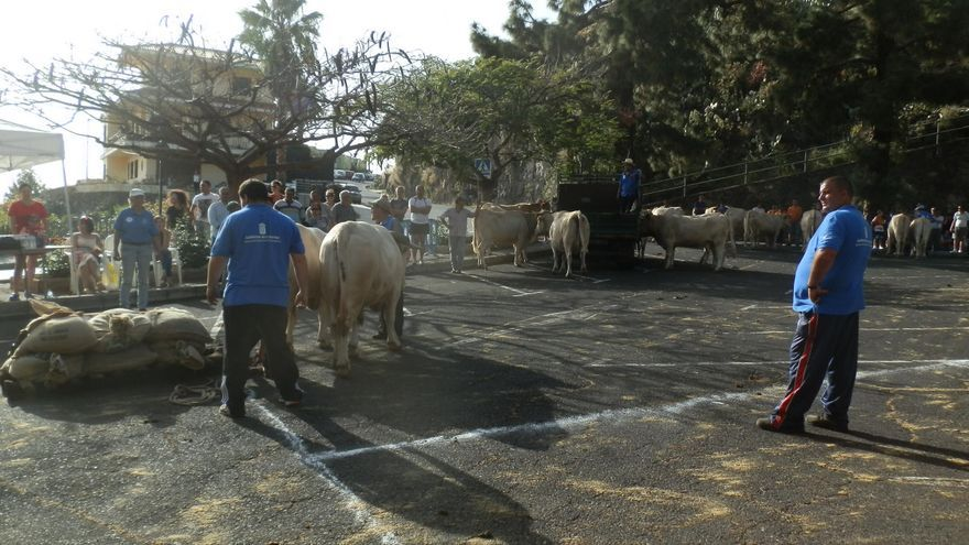 Un momento de primera prueba del XXII Concurso Insular de Arrastre celebrado el domingo en Tijarafe.