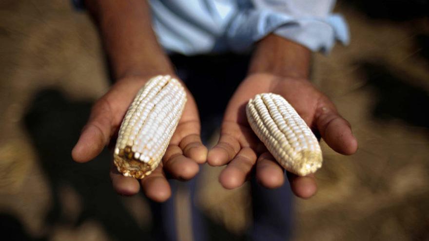 El maíz es el principal sustento de las comunidades pobres de Guatemala. Foto: Daniele Volpe / Action Aid