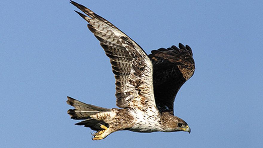 Un águila perdicera /Seo-Birdlife.