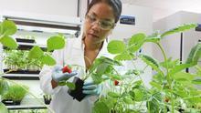 La UE clasifica las variedades obtenidas por edición genética en la misma categoría que los transgénicos