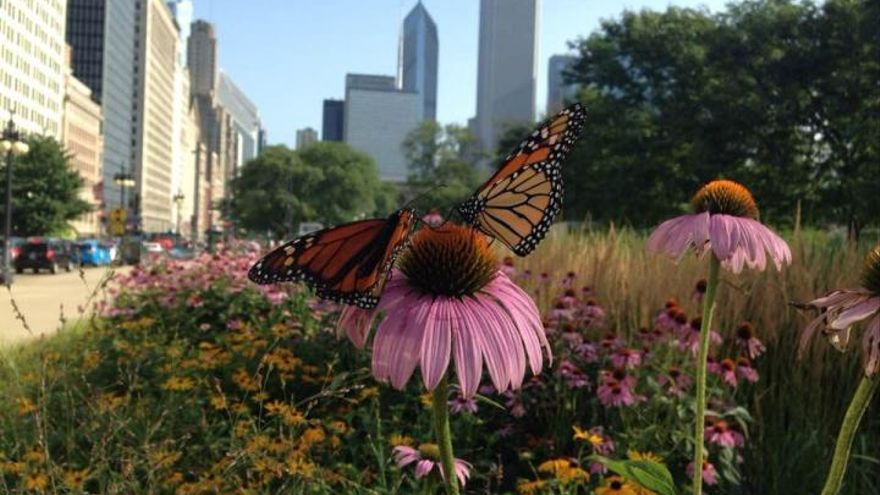 Mariposa monarca en el centro de Chicago.