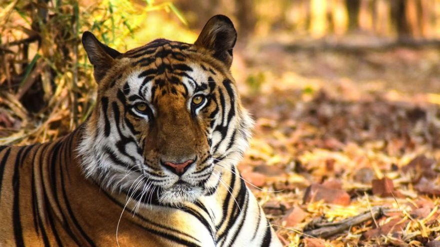 Tigre africano