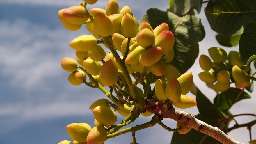 Diez años de celebración del pistacho en Alcázar, un cultivo al alza en toda la región