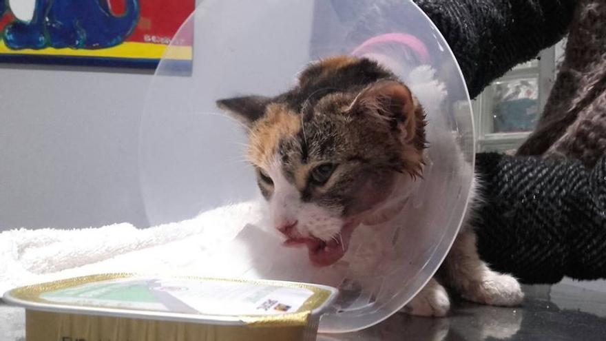 La gatita 'Mau' después de sufrir heridas por un petardo / Facebook Gatómicas
