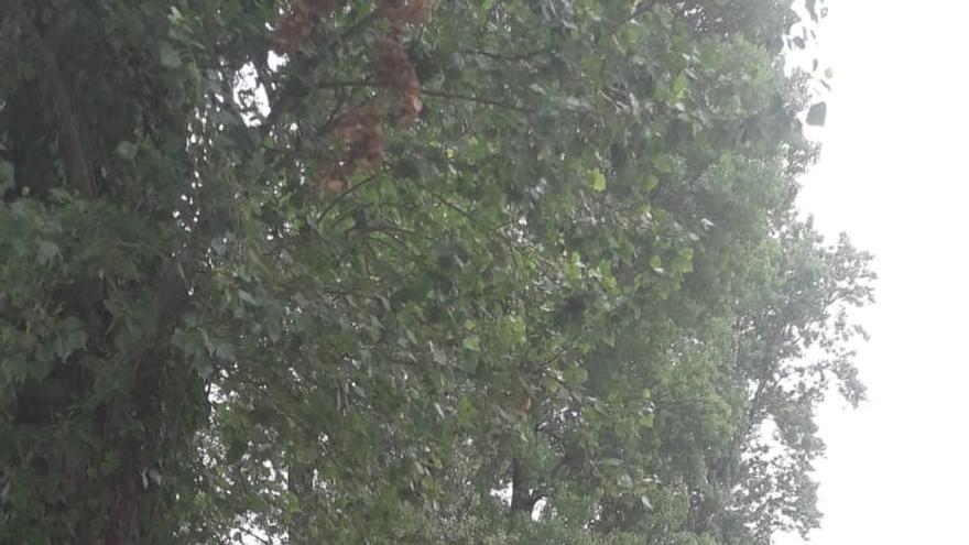 ARCA acusa al Ayuntamiento de talar árboles de gran porte en el Sardinero