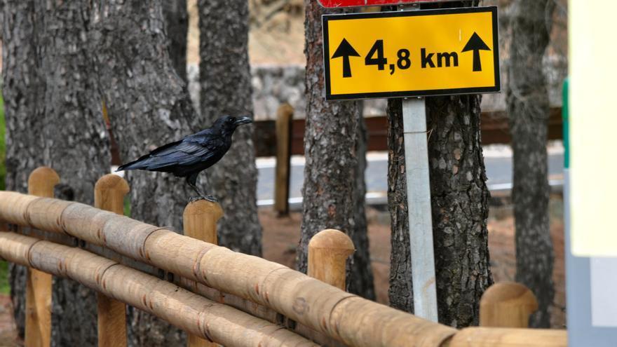 Un cuervo en los alrededores del Pico de las Nieves