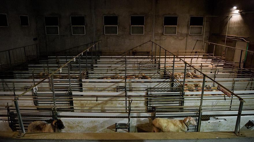 Corrales de un matadero de ovejas y corderos. El carnero y la oveja adulta son utilizados como guías para conducir al resto de corderos a la zona de matanza.