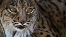 El lince ibérico esquiva la extinción cuadriplicando su población en 14 años