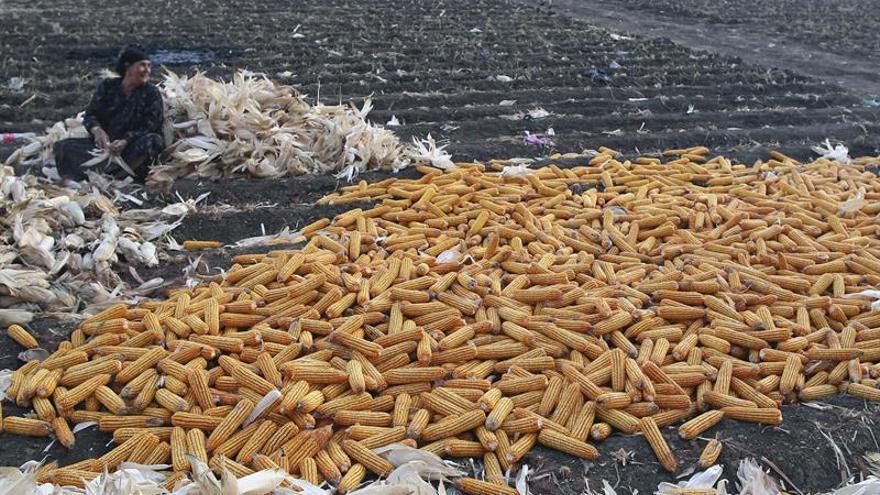 Investigadores producen nanocristales de celulosa a partir de residuos de maíz