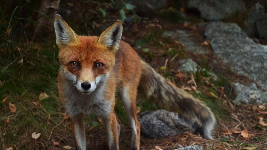 El zorro, el principal depredador natural del conejo, ha podido cazarse durante años con trampas de lazo en pueblos con plagas cunícolas