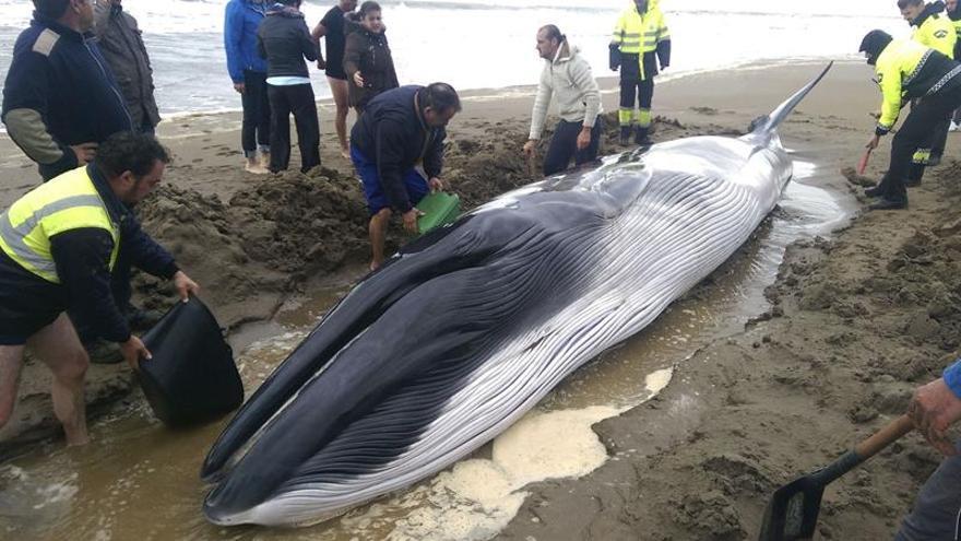 Muere la cría de ballena varada tras 11 horas de hidratación e intentos de salir al mar