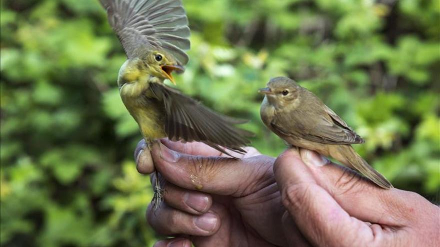 El marcaje de aves con geolocalizadores destapa los secretos de la migración