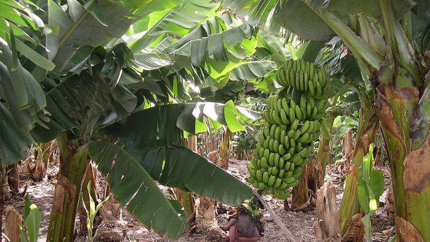 Imagen de archivo de una plantación de plátanos de La Palma.