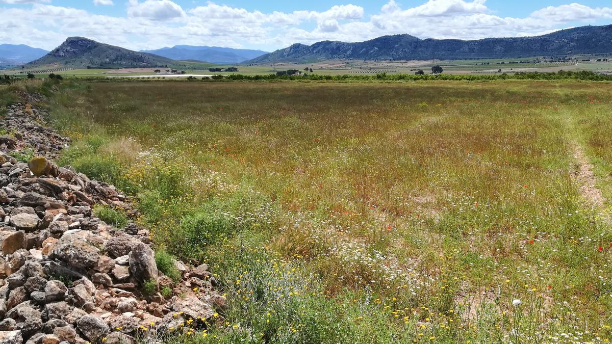 La zona protegida de Moratillas-Almela, donde habitan las últimas aves esteparias protegidas.