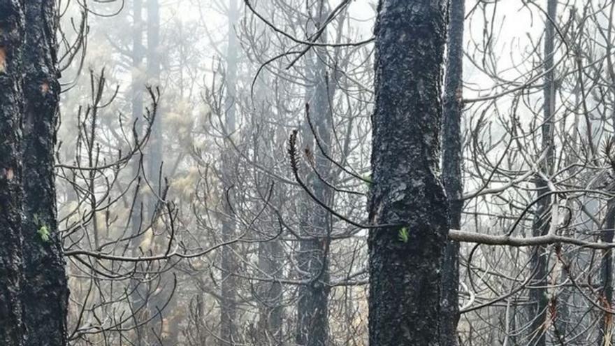 Los tallos verdes han comenzado a brotar en el bosque de pinar tras el incendio del pasado mes de agosto.