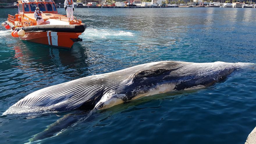 En la imagen, el cadáver de la ballena, este miércoles, en el puerto de Santa Cruz de La Palma. Foto: LUZ RODÍGUEZ.