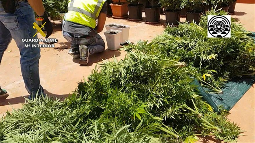 Desarticulada en San Mateo una plantación de 50 kilos de marihuana.