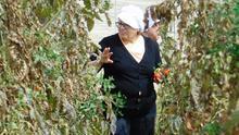 Cultivo de tomate canario en invernadero, en Gran Canaria