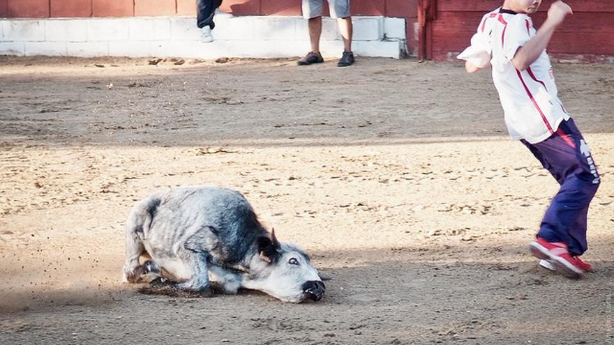 Festejo con vaquillas. Foto: © The Animal Day / Jon Amad