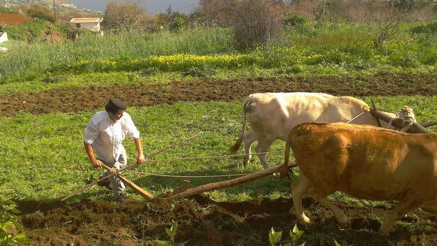Imagen de archivo de un miembro del Frescal arando el terreno con una yunta. Foto: El Frescal.