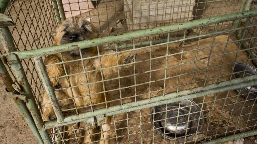 Perras yorkshire encerradas en jaulas minúsculas en el criadero.