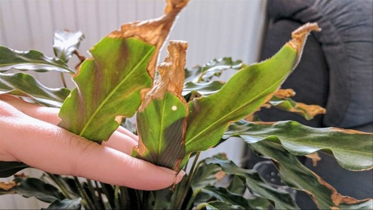 Planta de hojas cloróticas y quemadas