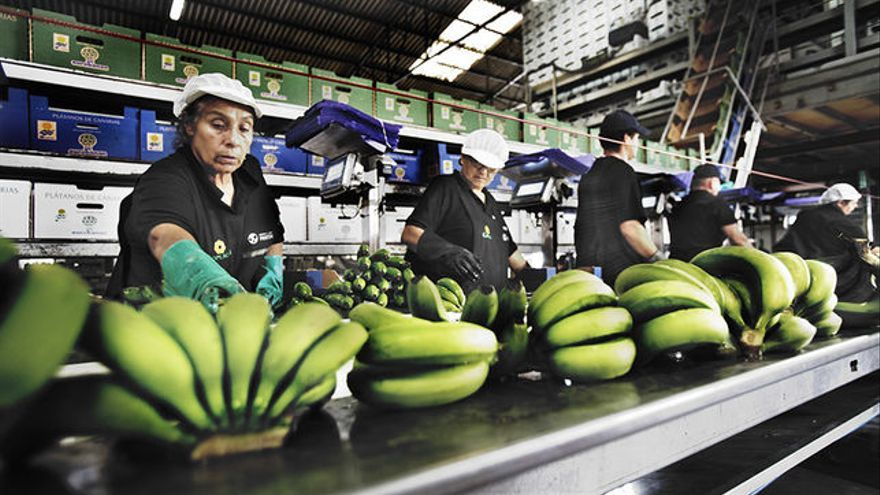 Empaquetado de plátanos en Canarias.