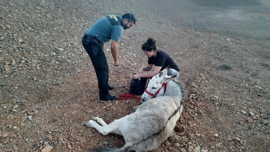 Rescate del burro abandonado en Fuerteventura