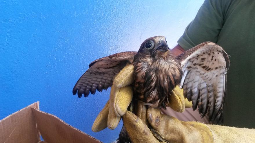 En la imagen, la cría de cernícalo rescatada en Los Guinchos.