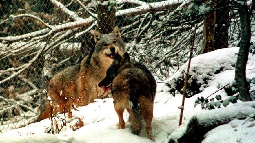 Francia autoriza matar hasta 40 lobos para limitar los daños de sus ataques