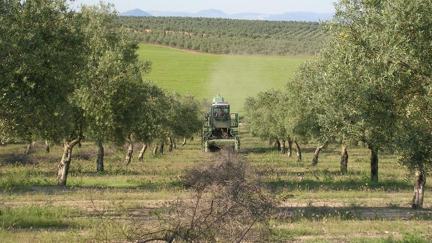 """Infaoliva considera que los datos del aforo del olivar """"implican el desplome del precio"""" del aceite"""