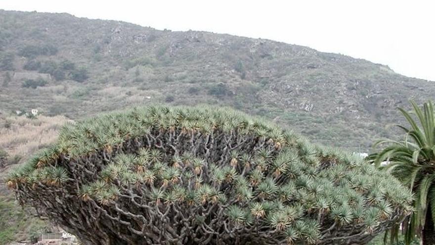 Drago milenario. Icod de los Vinos. Tenerife. (Sergio Gil)