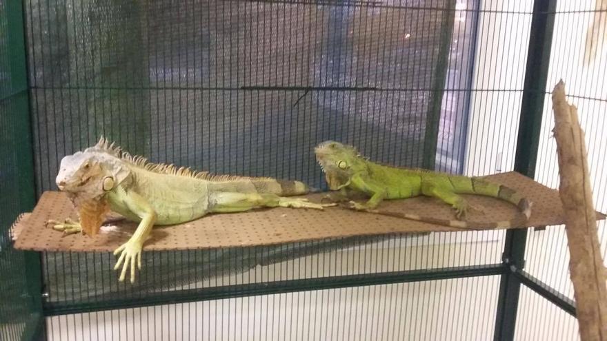 Dos de las iguanas que se pueden adoptar