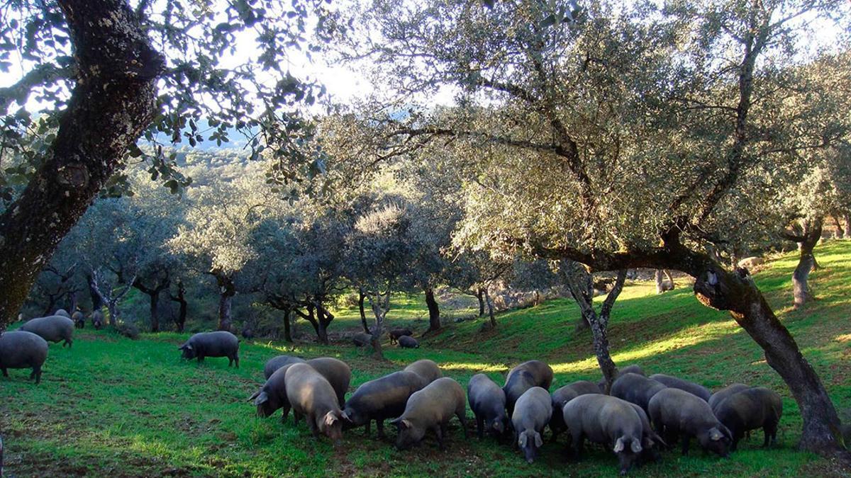 Una explotación de cerdos ibéricos.