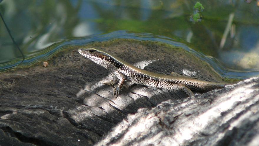 Eulamprus leuraensis en el río Murray