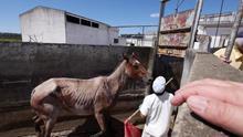 La cuarentena de la UE condena a miles de caballos en Canadá y no garantiza la salud humana