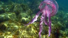 Las medusas, esos curiosos animales