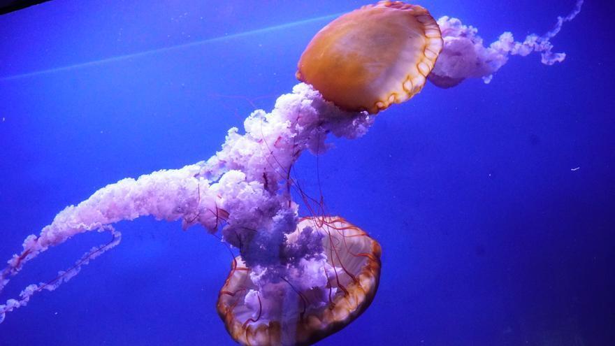 Una de las ortigas del Pacífico grandes que se exhiben en L'Oceanogràfic.