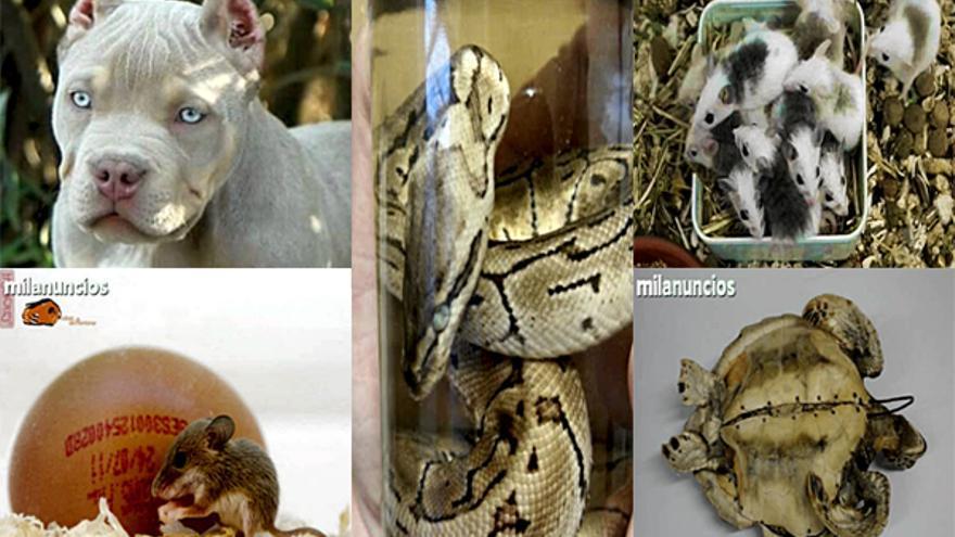 Imágenes de anuncios publicados en Milanuncios.com en los que se comercia con animales