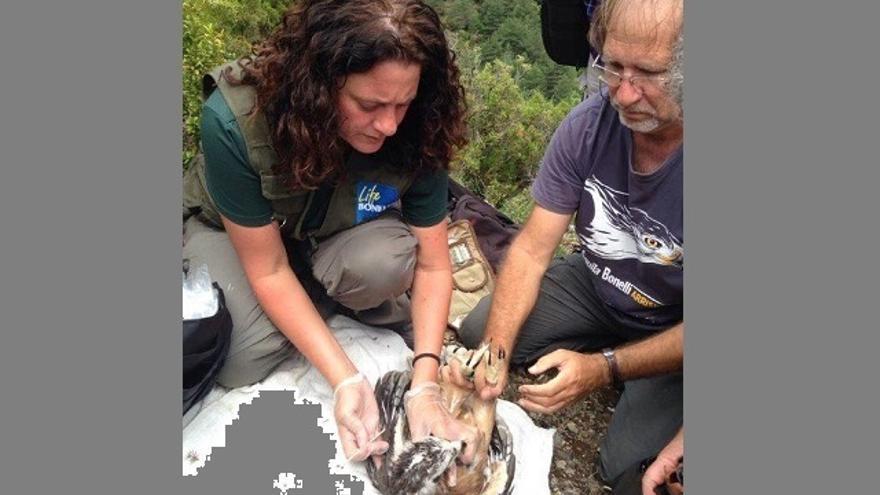 Álava continúa con la conservación del águila Bonelli reintroduciendo nuevos pollos en la Sierra de Árcena