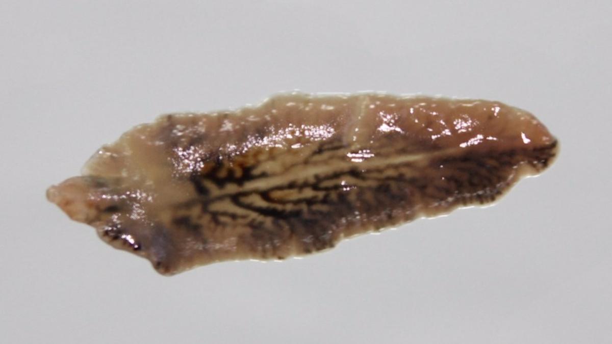 Ejemplo de Fasciola hepática en tamaño adulto.