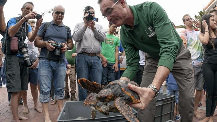 El responsable del Centro de Recuperación de Fauna Silvestre del Cabildo de Gran Canaria, Pascual Calabuig, sujeta a dos de tortugas bobas liberadas en la playa de Las Canteras. EFE