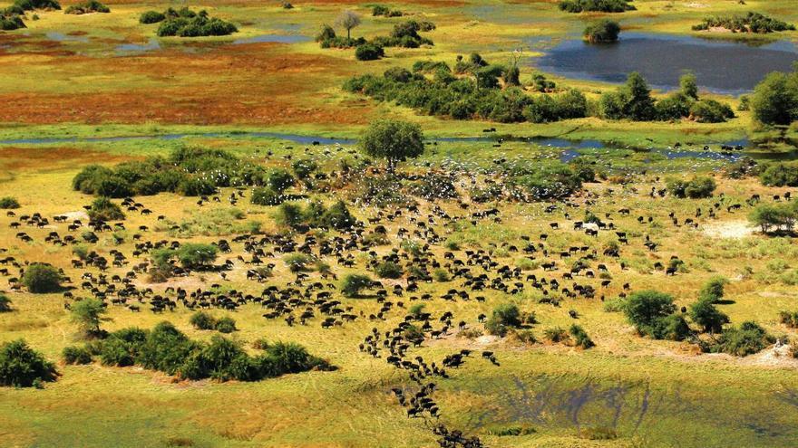 Los búfalos campan por las planicies de Duba, en el Delta del Okavango. TURISMO DE BOTSWANA