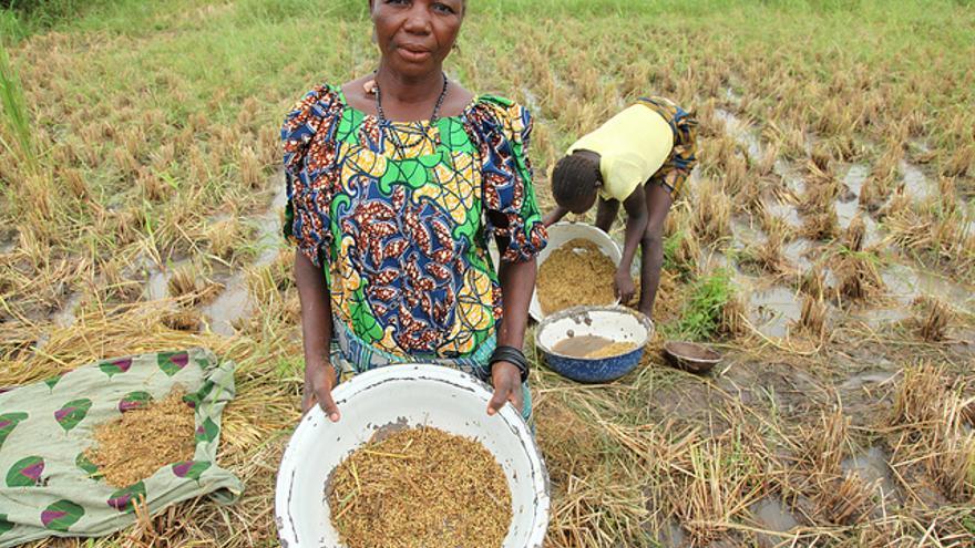 Dos mujeres recogen la producción de arroz en Wushishi (Nigeria)/Fotografía: Jeremy Weate