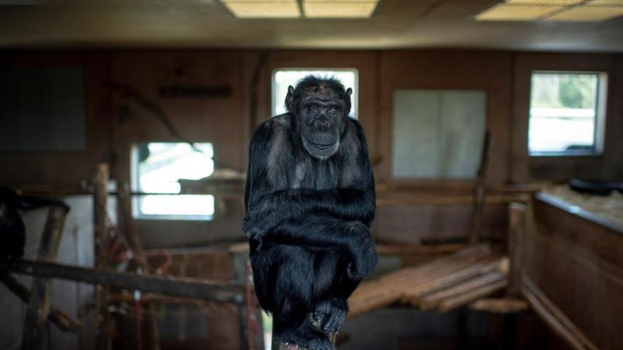 Un santuario de chimpancés torturados en experimentos, ante su cierre en Austria