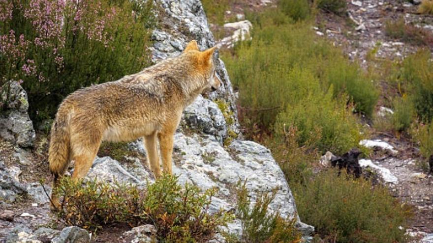 Las políticas sobre el lobo, origen de la situación de prohibición de la caza en Castilla y León.