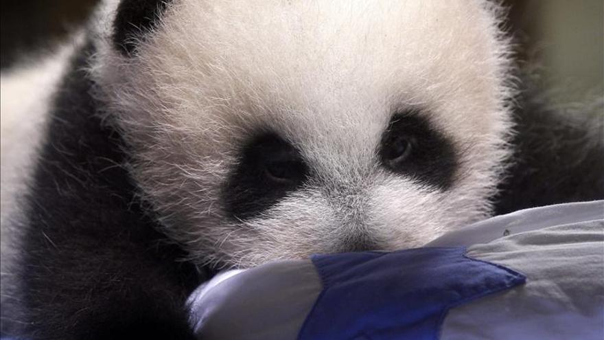 La cría de oso panda del Zoo de Madrid sale por primera vez con su madre