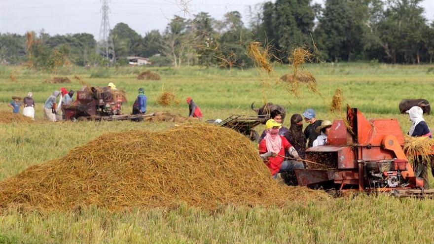 Cosechar el arroz en Filipinas, en vilo por miedo al tifón