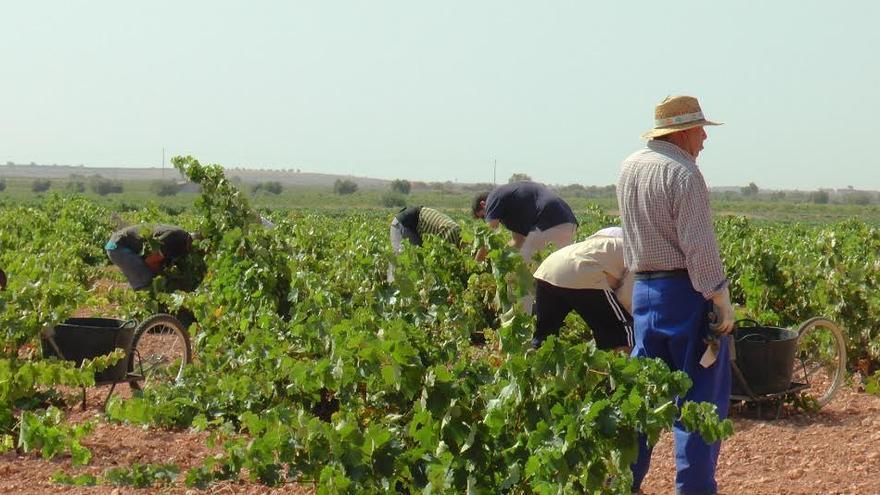 Recogida de tinta tempranillo en La Mancha toledana / DO La Mancha