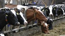 Vacas de leche estabuladas.